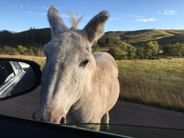 burro at Custer State Park Wildlife Loop