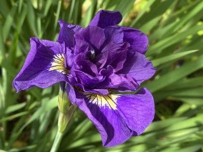 irises at Meadowlark