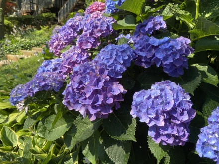 hydrangeas in Reston
