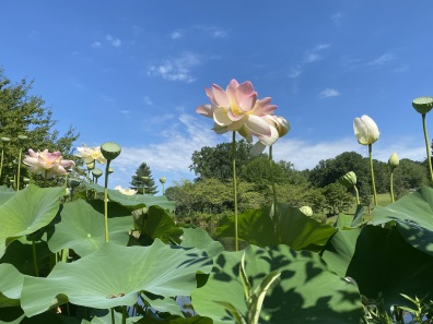 lotus at Meadowlark
