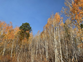 Aspens in Dixie National Forest