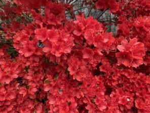 red azaleas