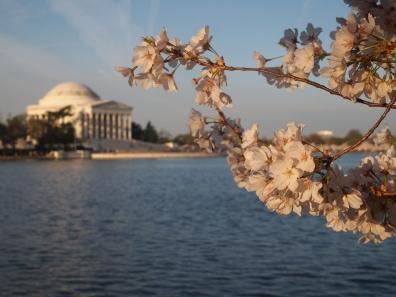 Cherry blossoms, D.C.