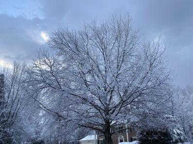 a snow-clad tree